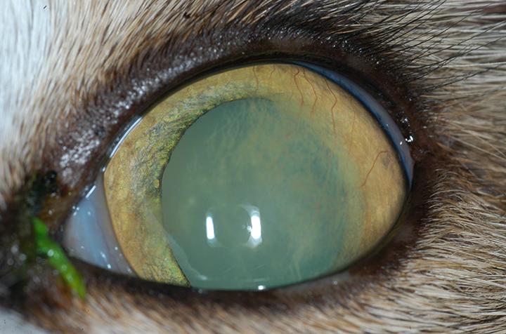 Image Gallery Eosinophilic Keratitis In Cats Clinician S