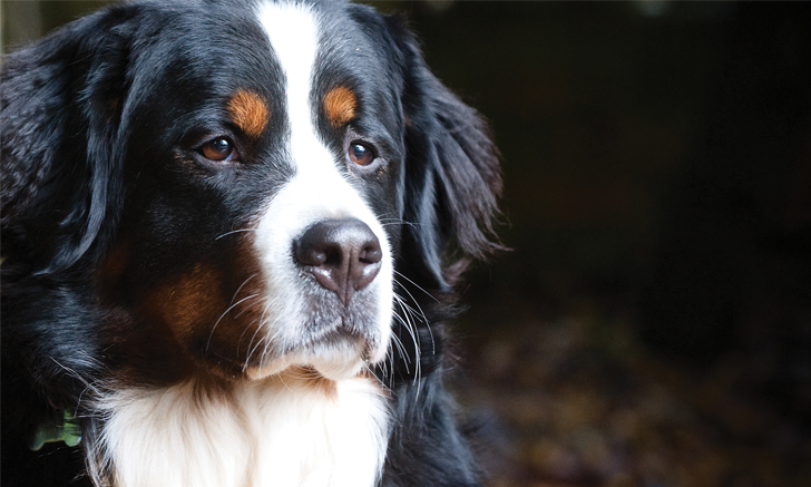 Idiopathic Epilepsy in Dogs